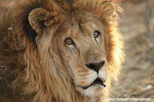 Lion family leo