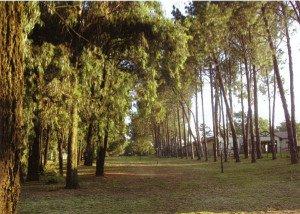 Joburg trees