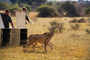 The released cheetahs wear collars so that they can be monitored.