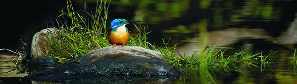 brilliantly coloured half-collared kingfisher