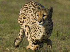 Cheetah at top speed