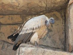 Injured vulture being cared for.