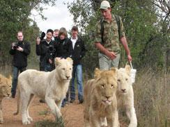 Tourists walking with lions Ukutula Lion Lodge