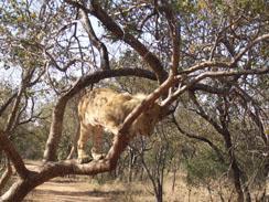 Lion walk lion in tree at Ukutula