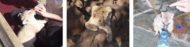 Ukutula images of lion cubs and meerkat