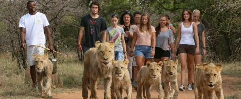 Walk with Lions at Ukutula Lion Lodge