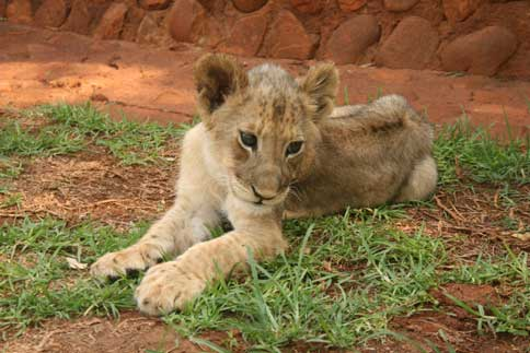 Wedding Proposal with lion cubs Ukutula