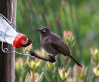 Common Garden Birds in Gordon's Bay