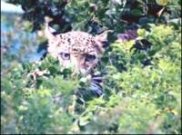 Leopards in a Suikerbossie Garden