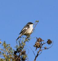 More common garden birds in Gordon's Bay