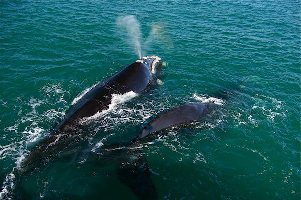 Southern Right Whales in Hermanus, South Africa
