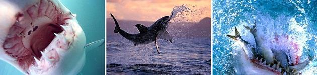 Great White Sharks - Great White Sharks   © Discovery Channel