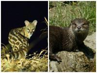 Cape Genet & Clawless Otter