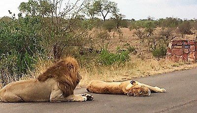 lions-in-road