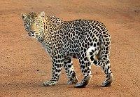 leopard-leopard-spots-animal-wild-39857