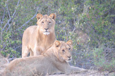 Lions on the Rietspruit Game Reserve