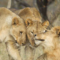 Lions embracing on Leadwood Big Game Estate
