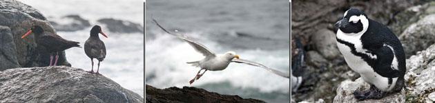 Black African Oyster Catcher, Seagull Jackass, Penguin