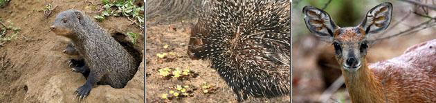 Mongoose, Porcupine, Greysbok are often spotted in Cape St Francis Nautre Reserve