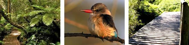 Brown Hooded Kingfisher Trail, Wilderness, Garden Route