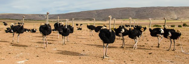 Ox Wagon Trail Ostriches