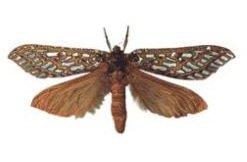 phantom Moth Knysna