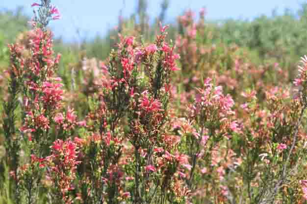 Establishment of Coastal Fynbos reserves