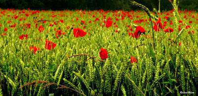 © Richard Wilson - Poppies