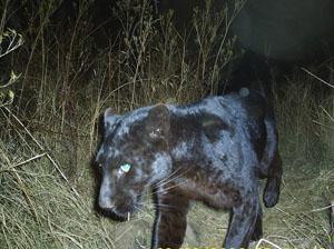 Chasing Mpumalanga's Black Leopard