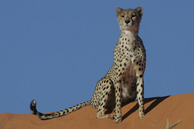 Cheetah on red dune - Kalahari