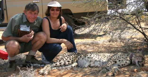 Gus and Margie Mills with immobilised cheetah - Kalahari