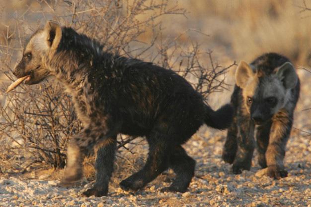Spotted hyena cubs -Kalahari