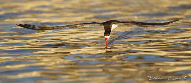 Skimming Skimmer