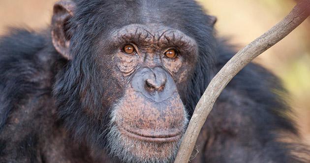 Jane Goodall Sanctuary Chimp Eden - photo by Marc Cronje