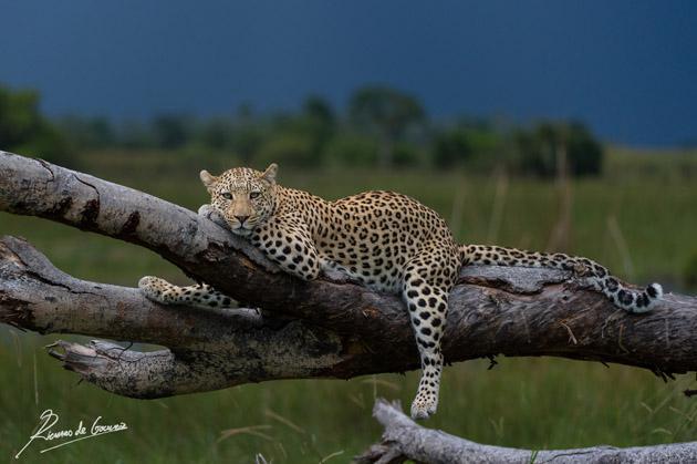 Lazing Leopard