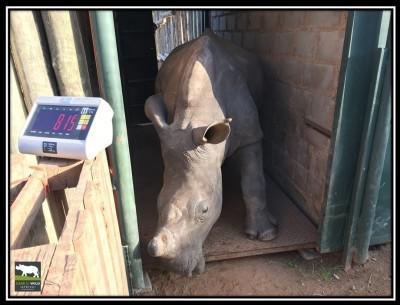 rhino-mabush-weight-22-march