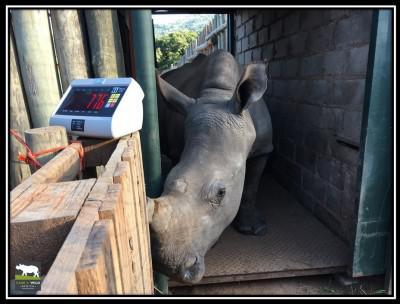 rhino-tana-weight-22-march