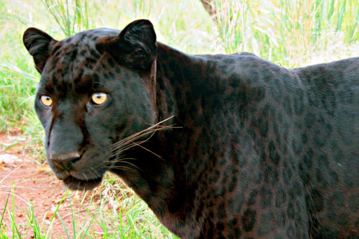 f5799fe3fe45a6 Chasing Mpumalanga's Black Leopard | News