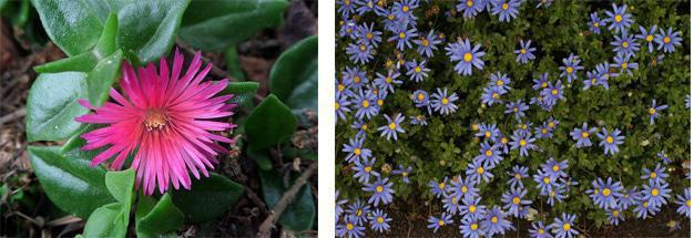 Great indigenous ground covers: Aptenia (left) and Felicia Image sources: flickriver.com (left) and sfbotanicalgarden.org