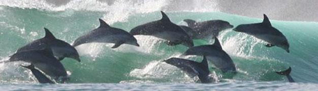 Bottlenose dolphins in Plettenberg Bay