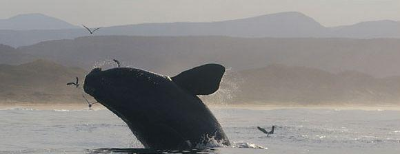 Breaching Southern Right Whale in Plettenberg Bay, South Africa