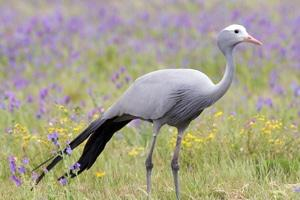 Look out for the majestic Blue Crane on the banks of the Bitou river