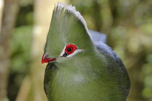 The Knysna Turaco, also known as the Knysna Lourie