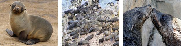 Cape Fur Seals at Robberg