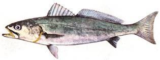 Cape Salmon Geelbek