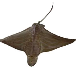 duckbill ray