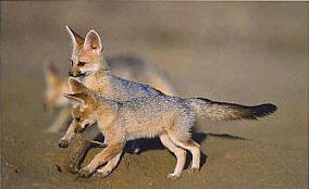 Baby Cape Foxes