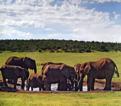 A group of Addo elephants having a bath at a waterhole
