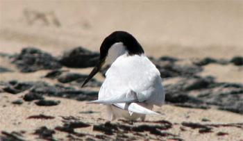 A breeding Damara Tern searches for her single egg on the open gravel plains of southern Angola. Nesting about a kilometre inland affords her some protection from the gulls and black-backed jackals that patrol the beaches.