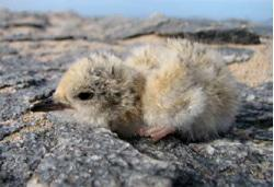 A day-old Damara Tern chick – the first recorded in Angola – relies on its highly cryptic down coloration to avoid predators.